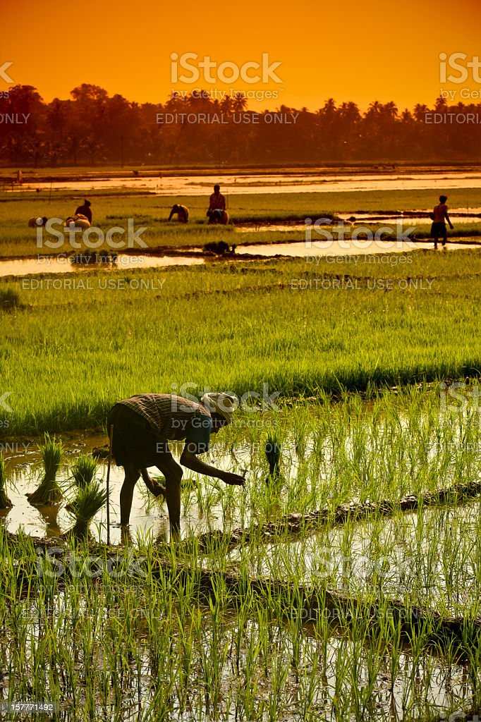 Rice Fields in Goa stock photo