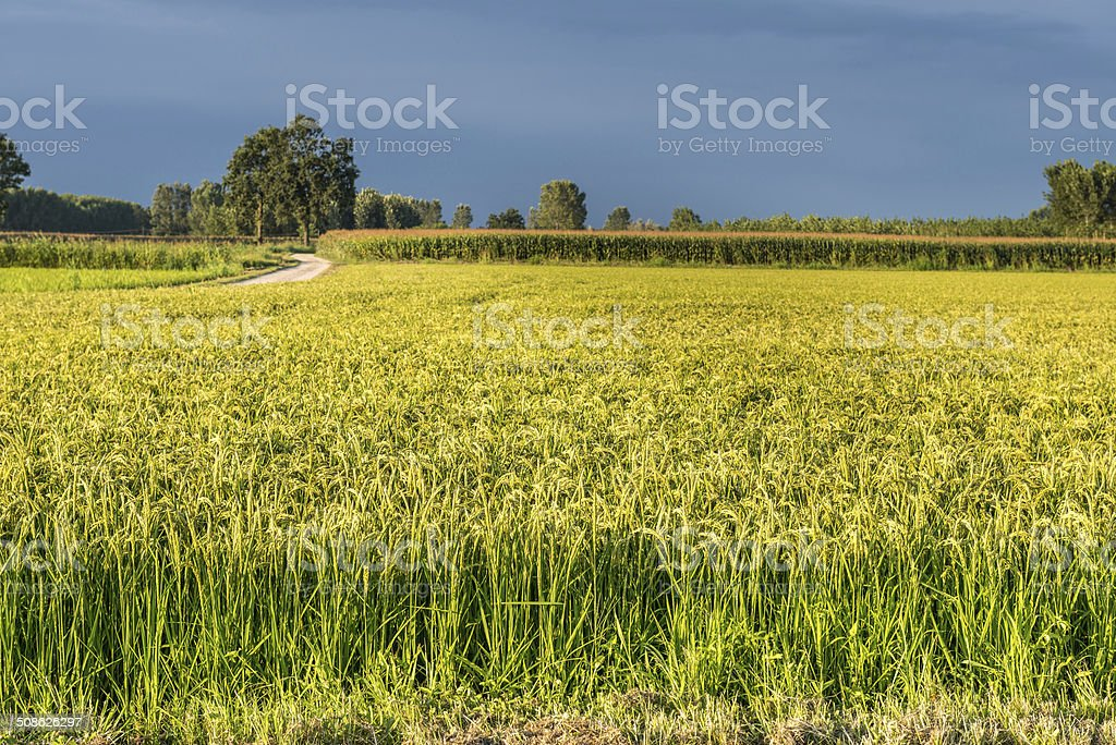 Rice fields in summer, Ottobiano (Italy) stock photo