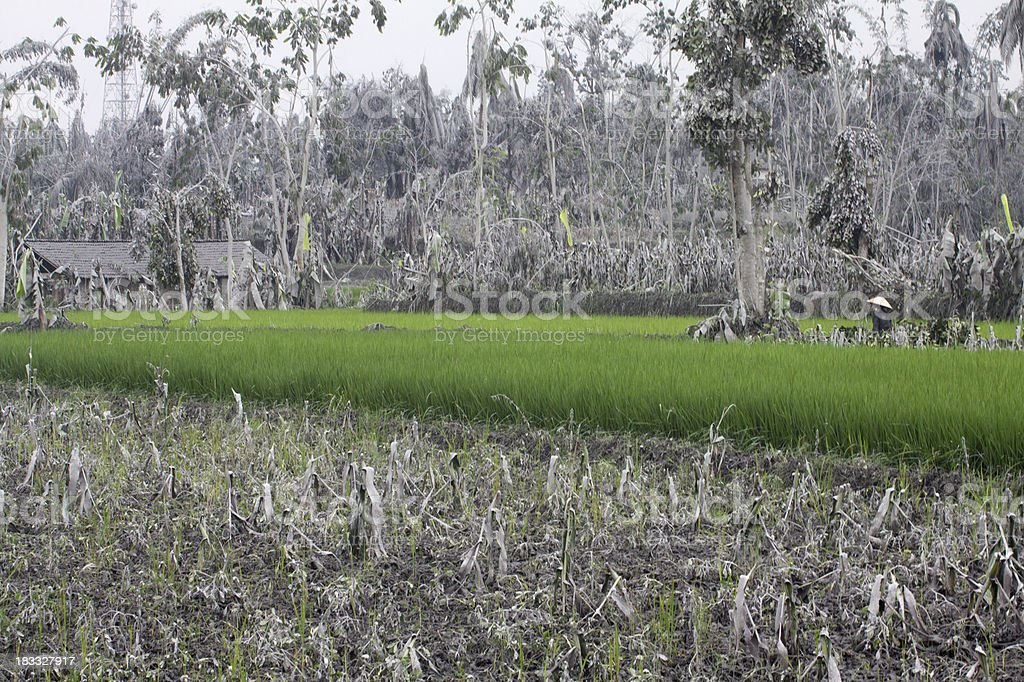 Rice fields in the middle of volcano devastated vegetation, Indonesia stock photo