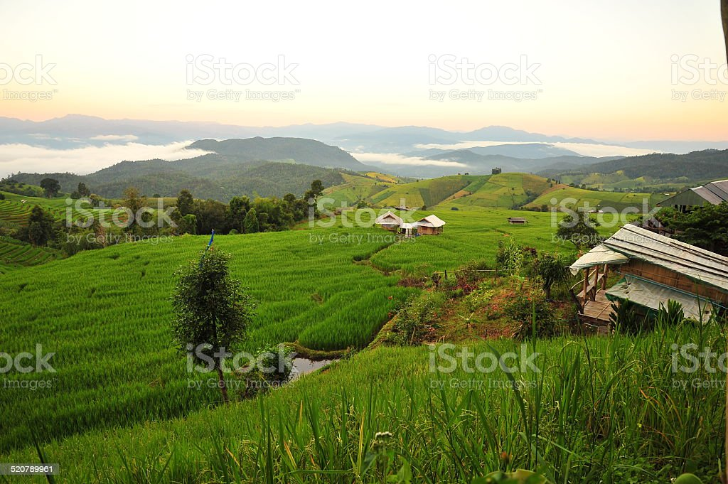 Rice Fields in the Morning stock photo
