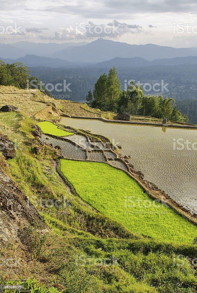 Rice fields near Limbong stock photo