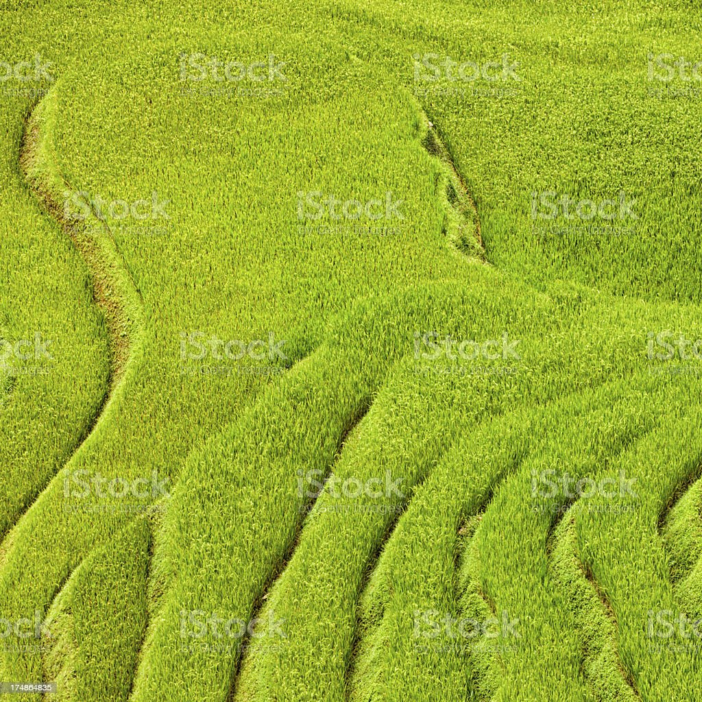 Rice fields near Sapa town in North Vietnam royalty-free stock photo