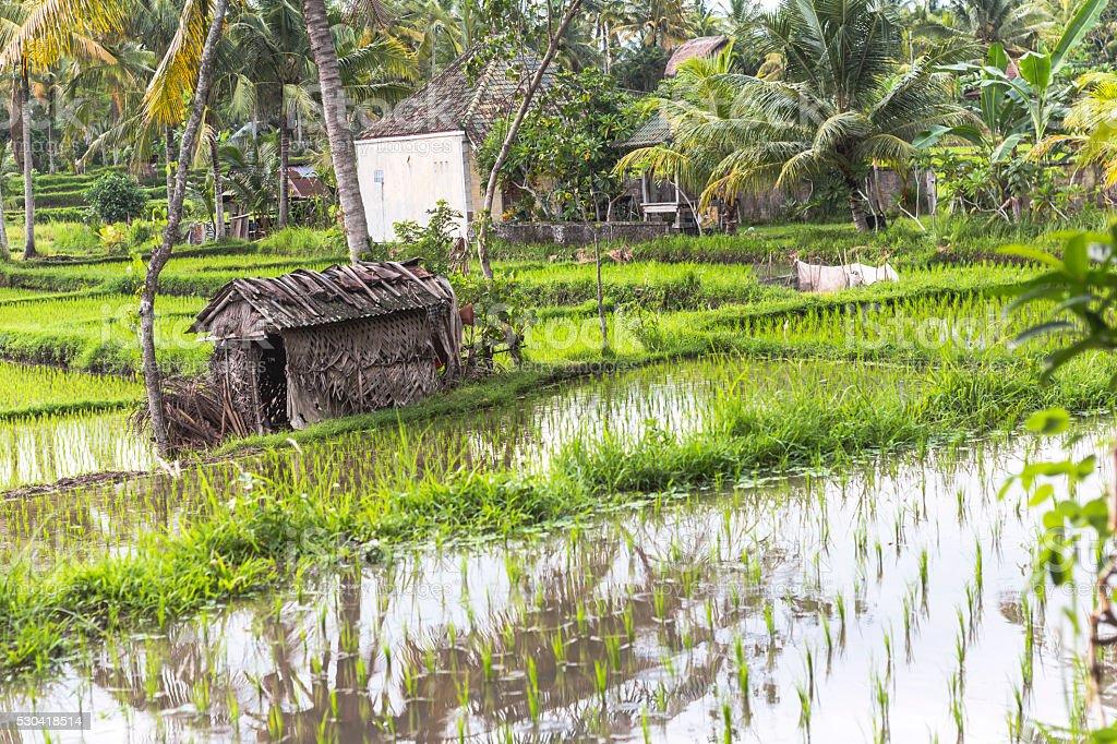 Rice fields on Bali, Indonesia stock photo