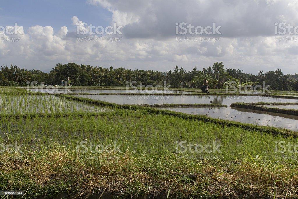 rice fields on Bali royalty-free stock photo