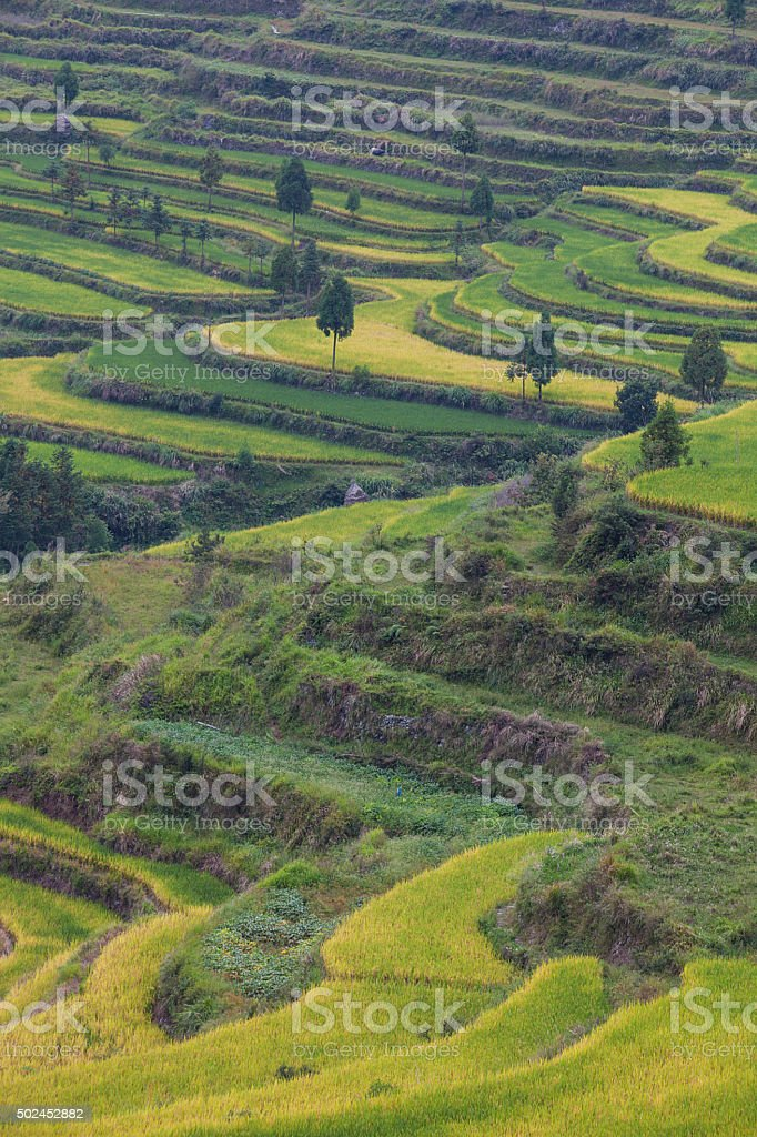 Rice fields on terraced in sunrise, stock photo
