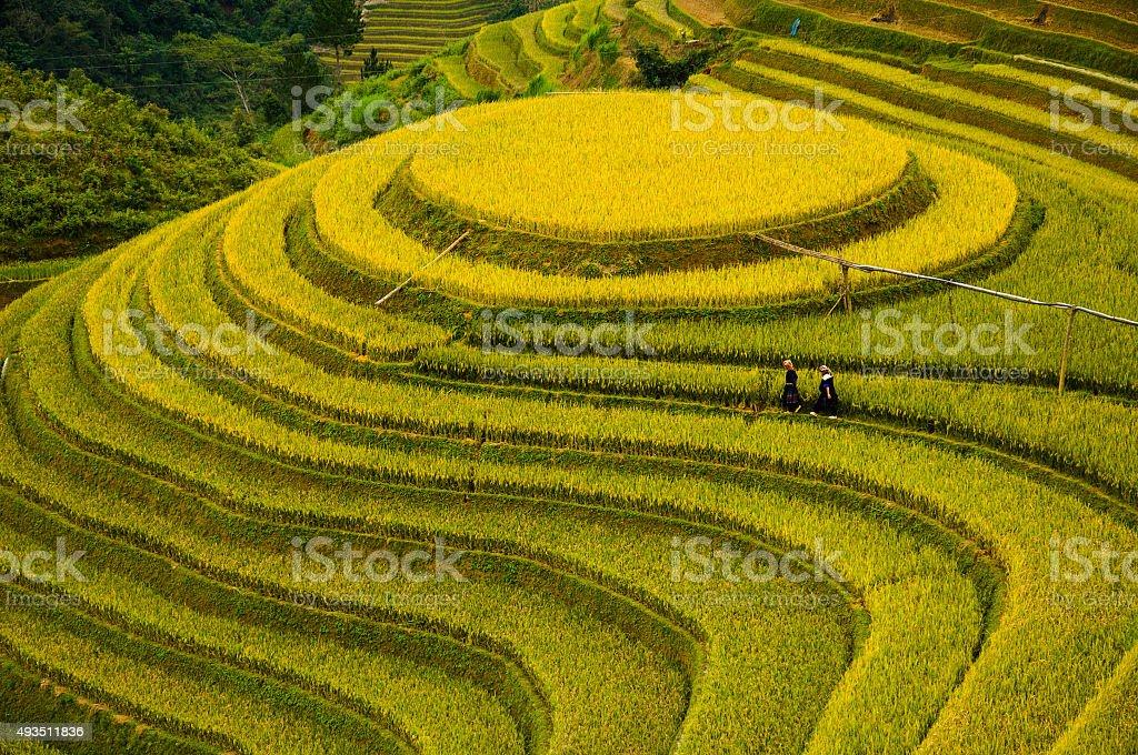 Rice fields on terraced of Mu Cang Chai, YenBai, Vietnam. stock photo