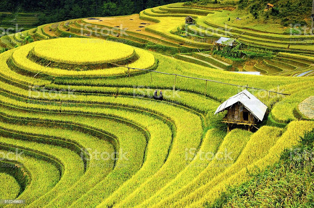 Rice fields on terraced of Mu Cang Chai, YenBai, Vietnam. stock photo