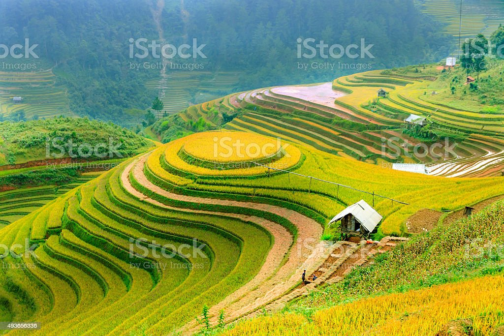 Rice fields on terraced stock photo