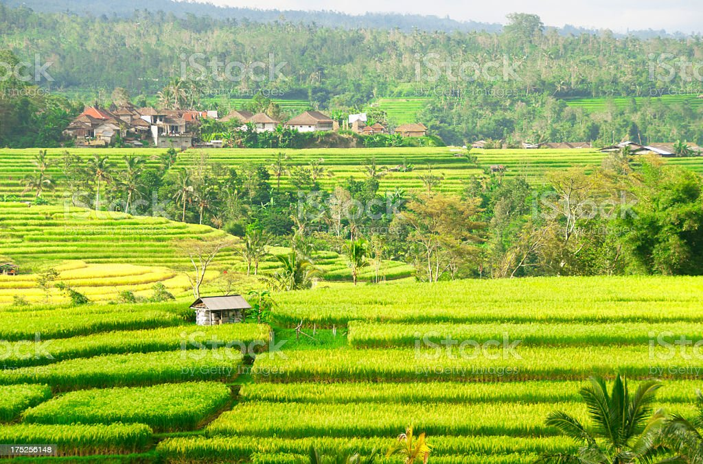 Rice Fields (Bali, Indonesia) royalty-free stock photo