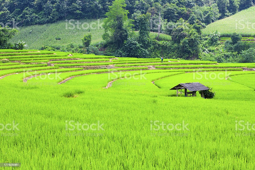 Rice fields royalty-free stock photo