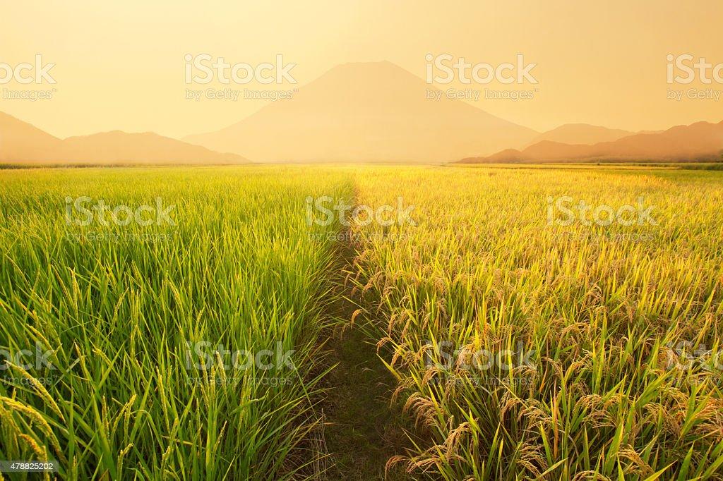 Rice fields sunset stock photo