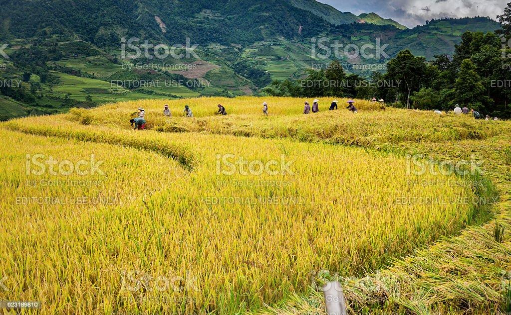 Rice fields terraced muong hum, sapa, laocai, Vietnam stock photo