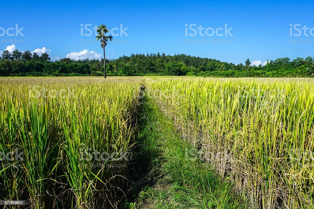 Rice filed in front of hill royalty-free stock photo