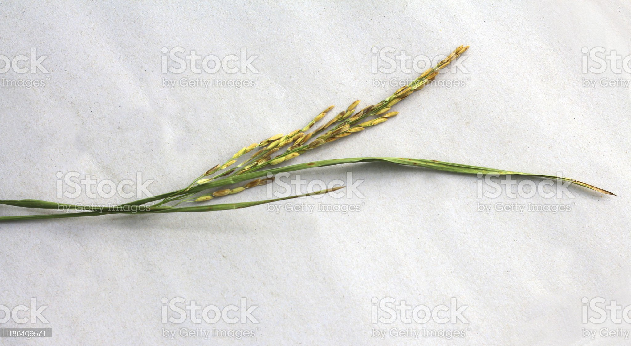 rice flower royalty-free stock photo