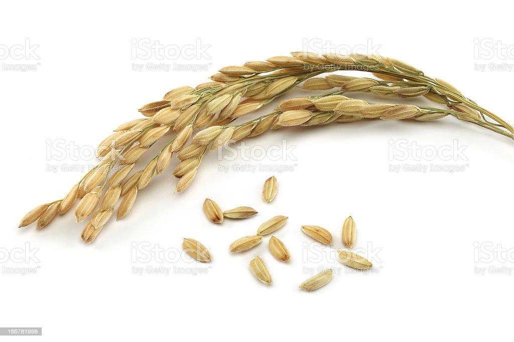 Rice grain and stalks stock photo