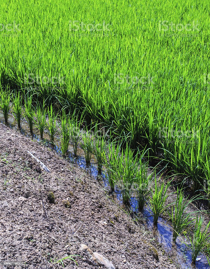 rice growing in field stock photo