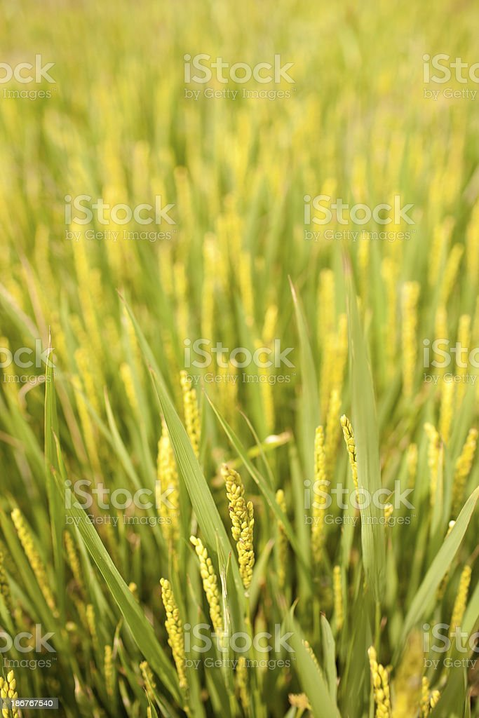 rice growing in summer royalty-free stock photo