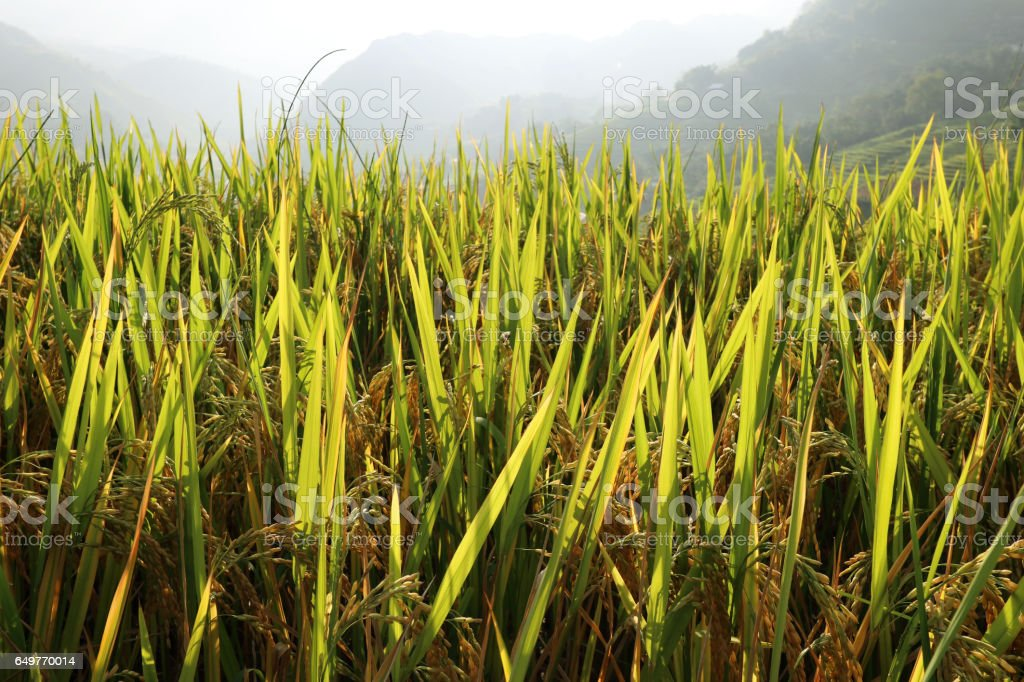Rice growing in the sun stock photo