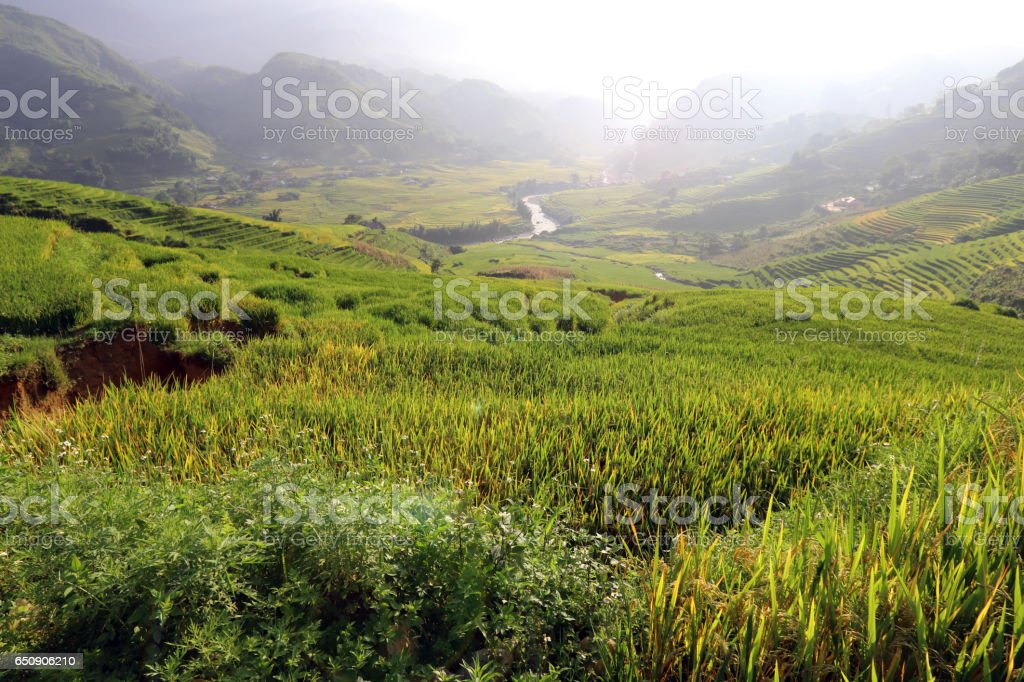 Rice growing in the sun stock photo