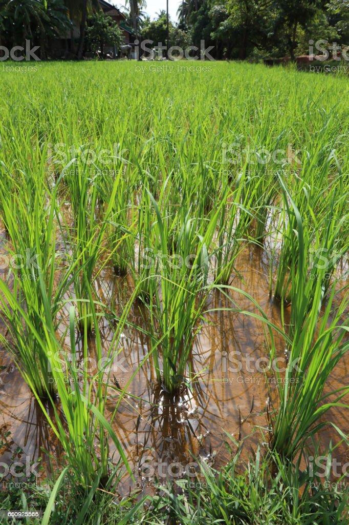 Rice Growing stock photo