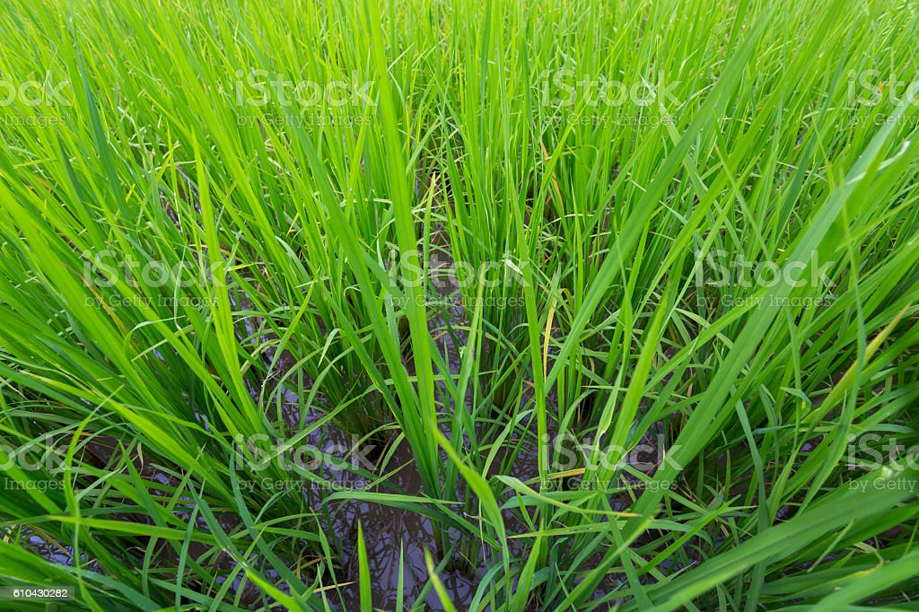 rice growing raining season in laos stock photo