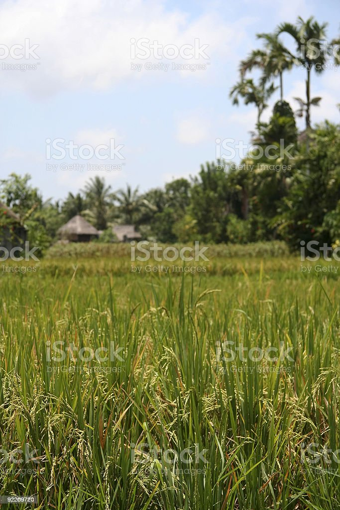 rice harvest ubud bali royalty-free stock photo