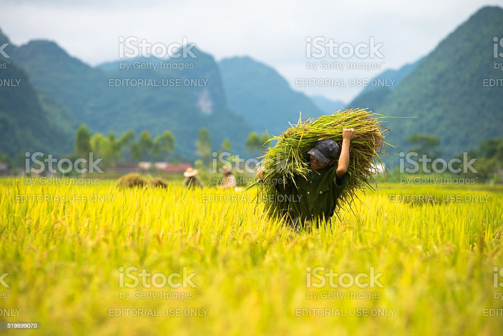 Rice harvesting in Vietnam stock photo