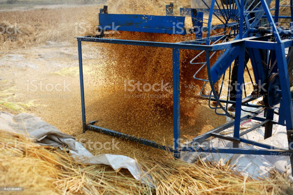 Rice harvesting stock photo