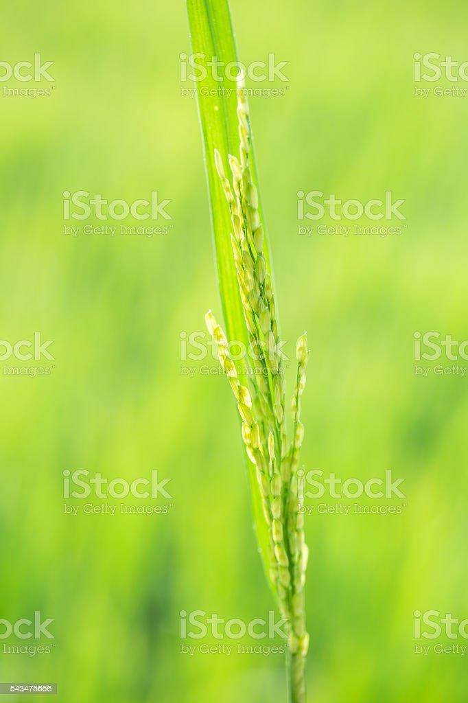rice head macro shot stock photo