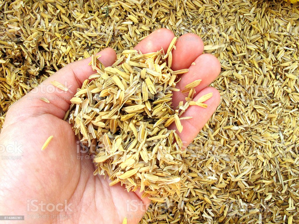 Rice husk on hand stock photo