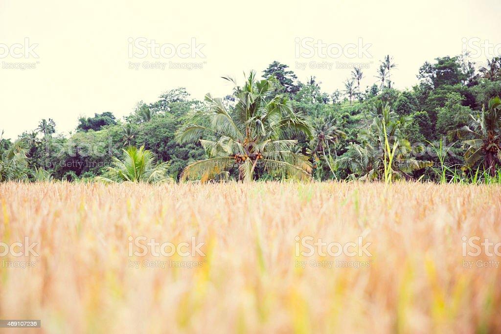Rice in Bali stock photo