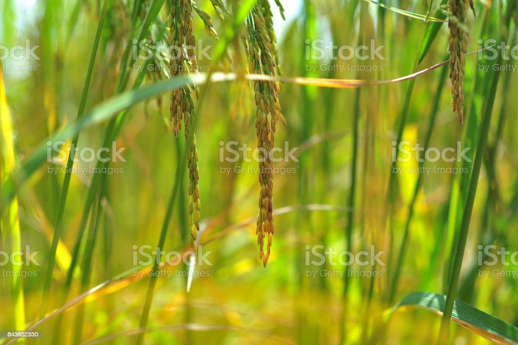 rice in farm prepare to harvest stock photo