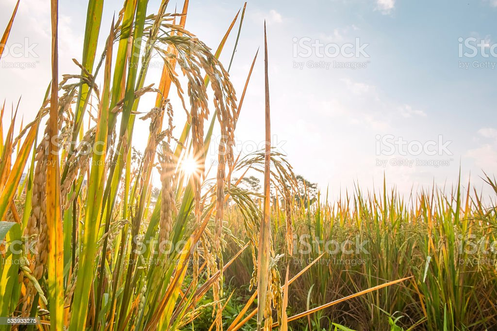 rice in field with sun beam stock photo