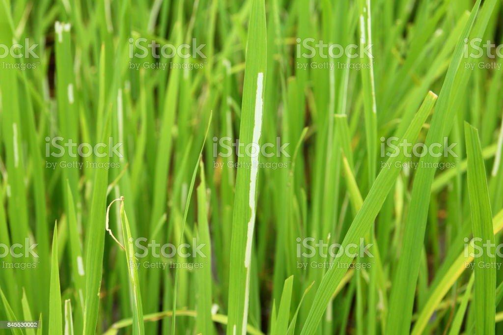 Rice leaf stock photo