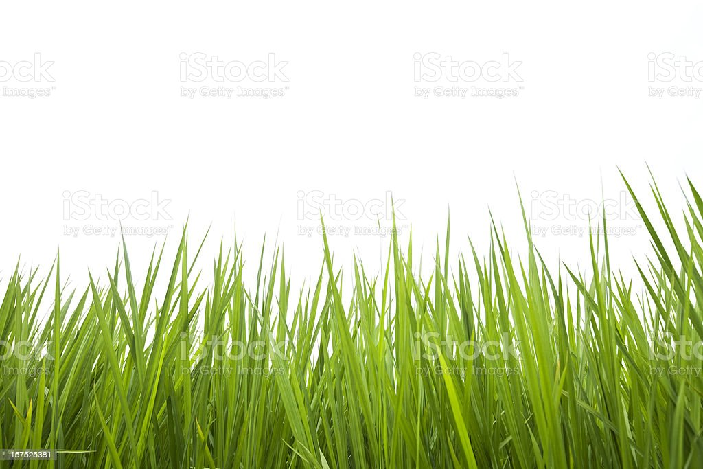 Rice Leaves stock photo