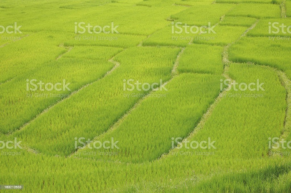 Rice paddies in Thailand. royalty-free stock photo