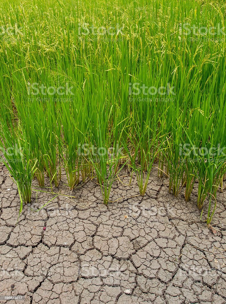 rice paddy and cracked soil stock photo