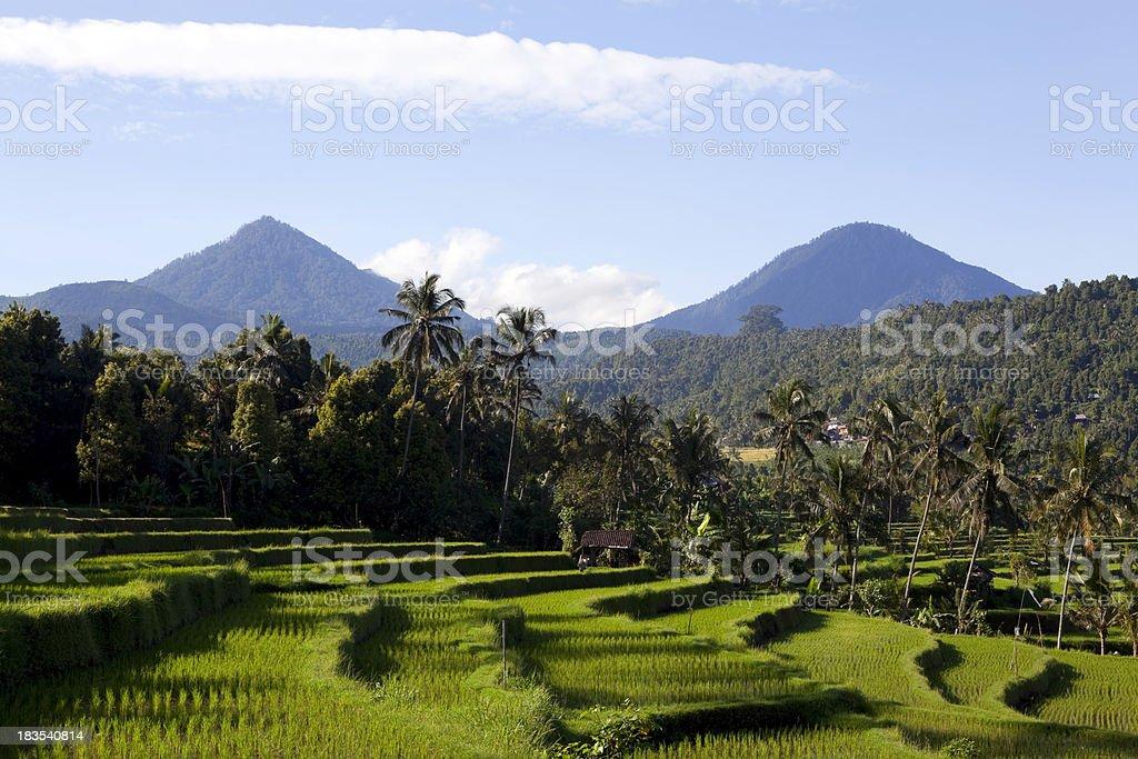 rice paddy bali stock photo