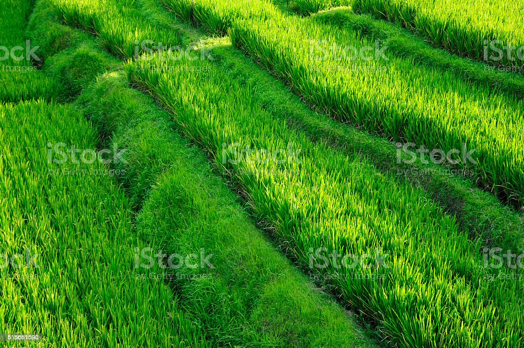 Rice Paddy - Bali stock photo