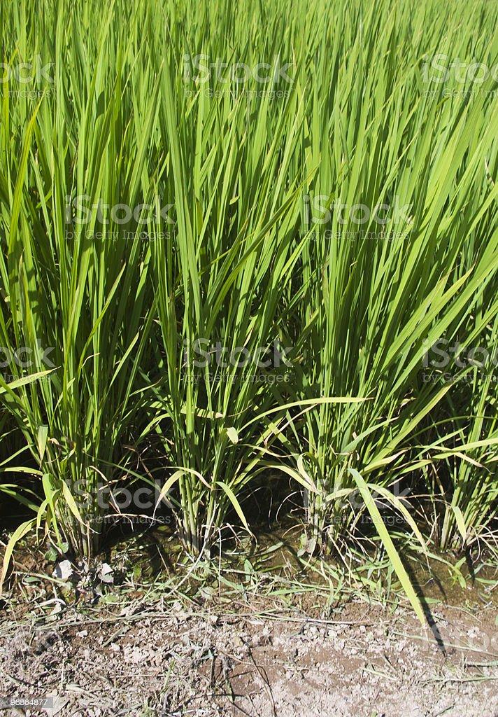 Rice Paddy Detail royalty-free stock photo