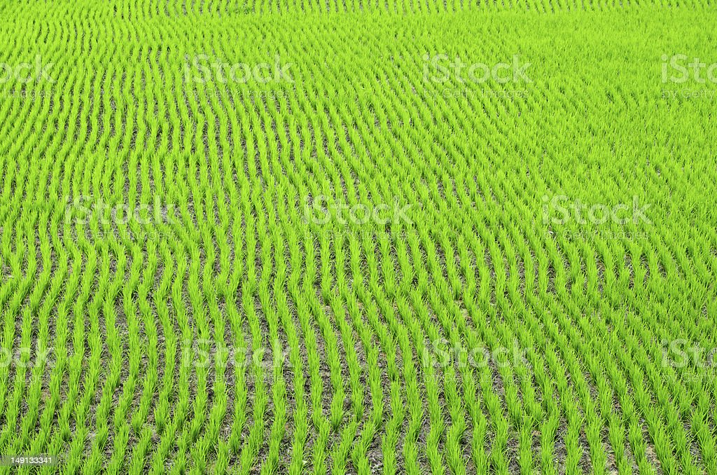 Rice paddy field royalty-free stock photo