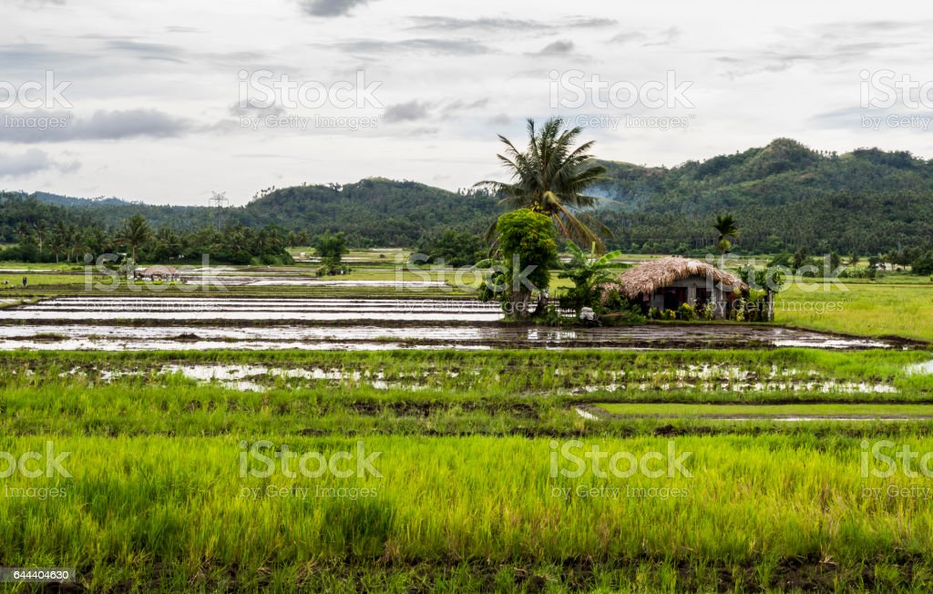 Rice Paddy field with a house by country side stock photo