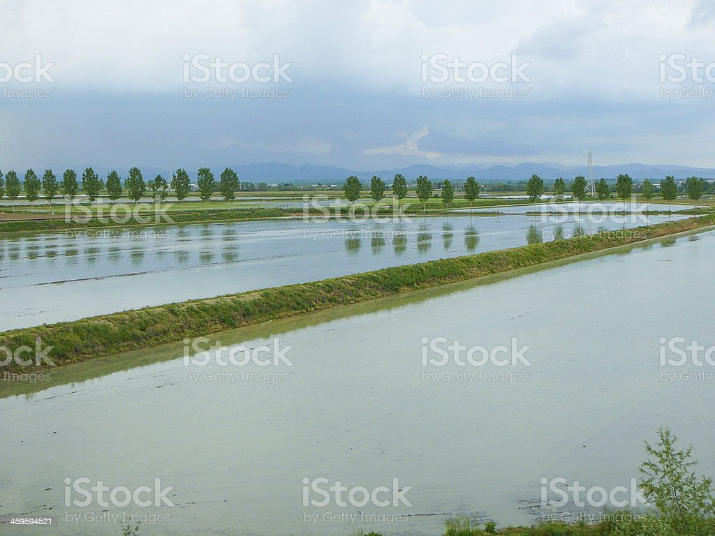 Rice paddy field with water and trees stock photo