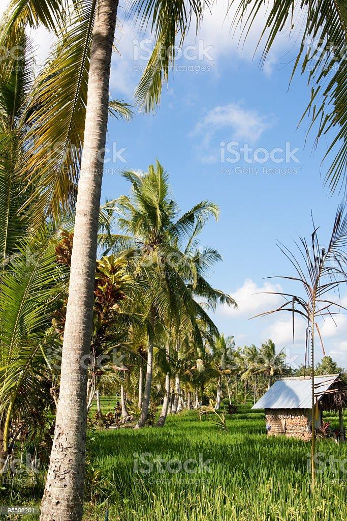 Rice paddy fields in Ubud, Bali, Indonesia stock photo