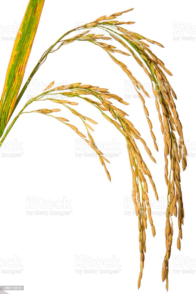 rice paddy grains isolated on white stock photo