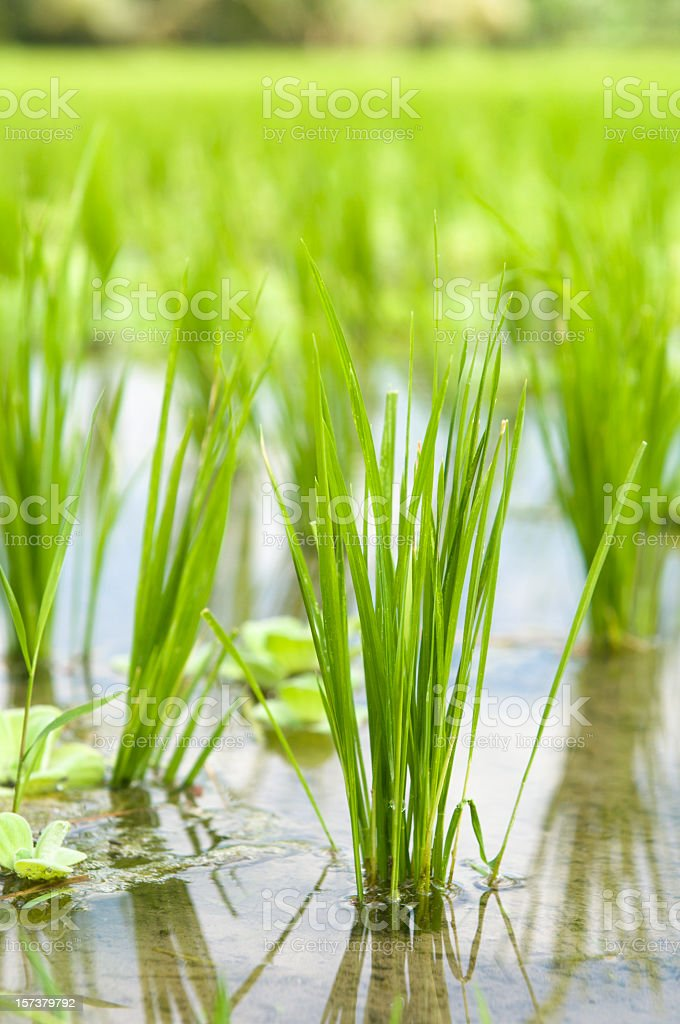 Rice Paddy Growth stock photo