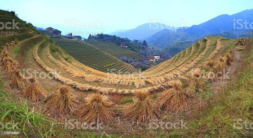 Rice paddy in Longsheng,Guilin,Guangxi,China stock photo