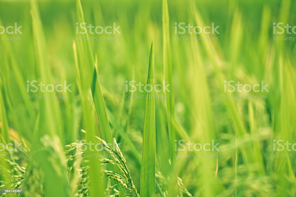 rice paddy in sunlight royalty-free stock photo