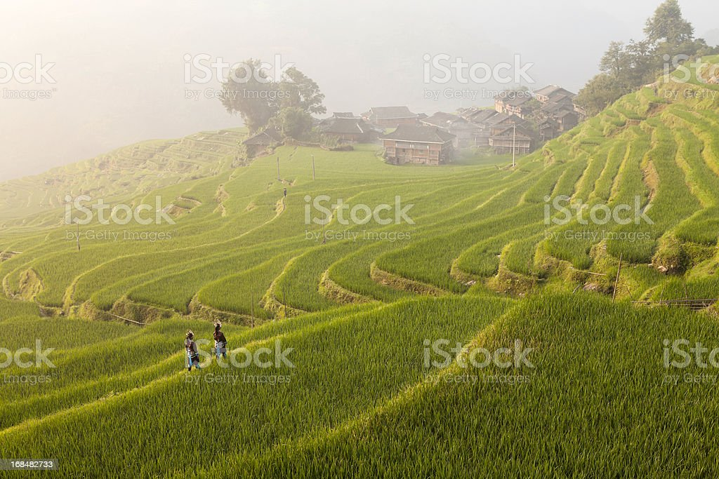 Rice Paddy in the Morning royalty-free stock photo