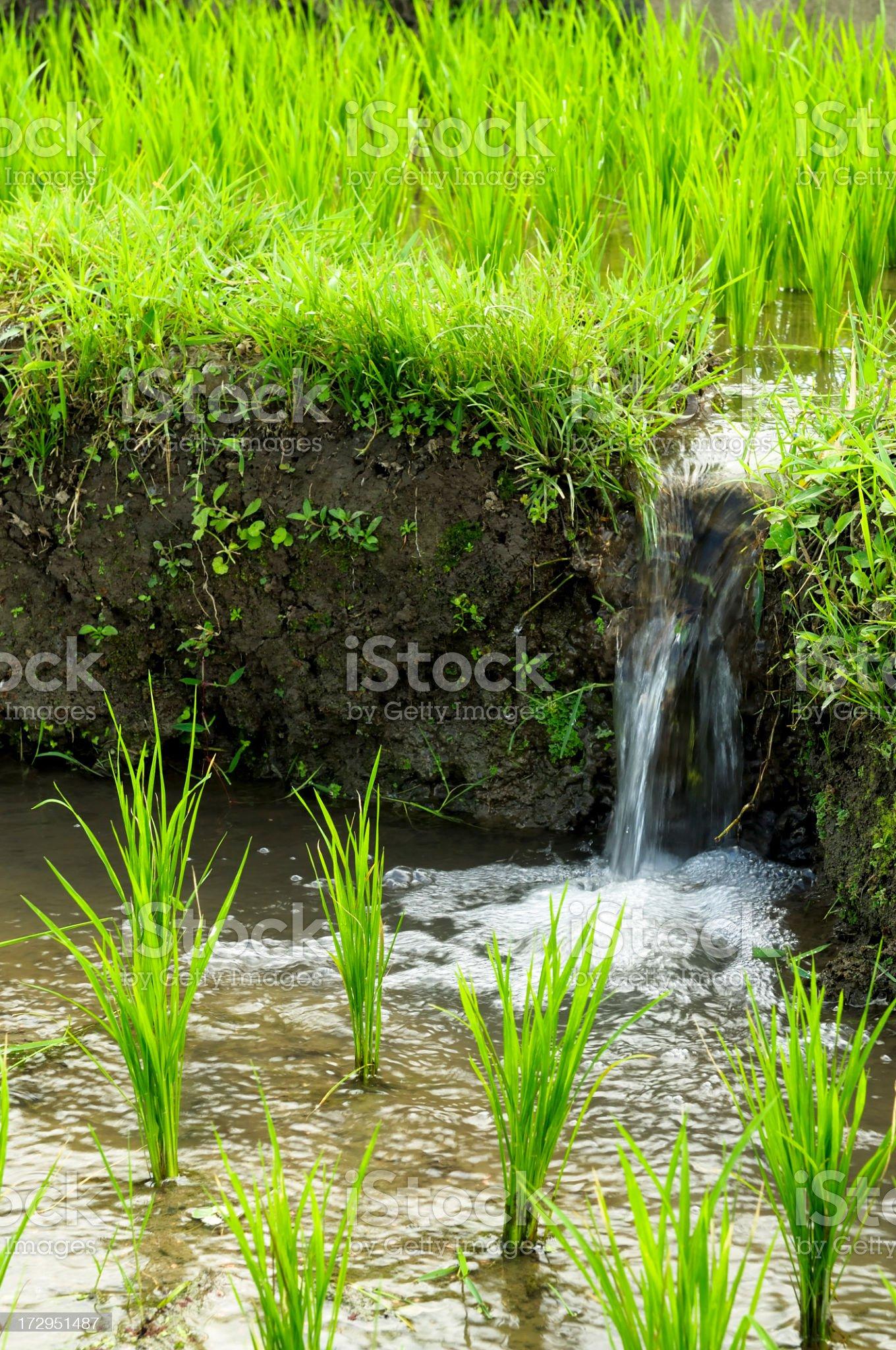 Rice Paddy Irrigation royalty-free stock photo